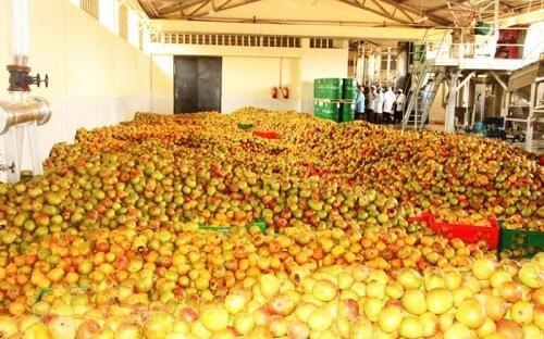 Kamba Mangoes
